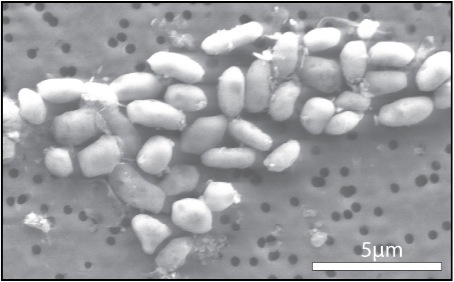 Arsenic microbes