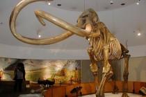 Columbian Mammoth via Wikipedia