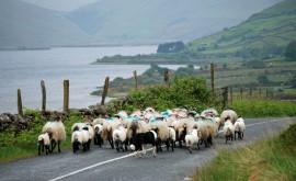Sheep farming in Ireland