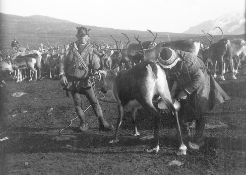 Reindeer in 1914