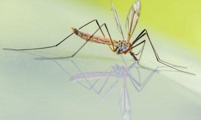 mosquitoes pesticides