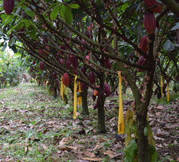 Cacao trees in Colombia.
