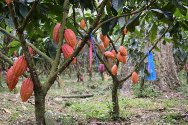 Cacao plantations in Colombia